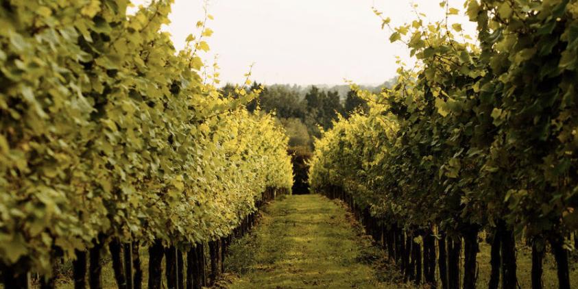 wine_school_cheshire_gusbourne_vineyards